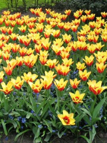 Tulipa  'Golden Daylight' - Tulp