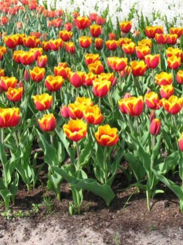 Tulipa  'Kees Nelis' - Tulp
