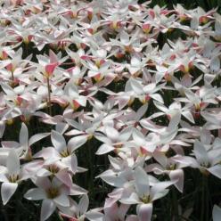 Tulipa  'Lady Jane' - Tulp