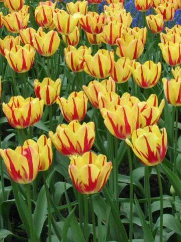 Tulipa  'Linda de Mol' - Tulp