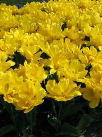 Tulipa  'Monte Carlo' - Tulp