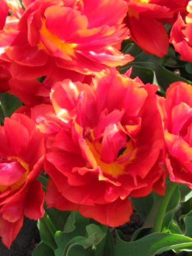 Tulipa  'Oranje Nassau' - Tulp