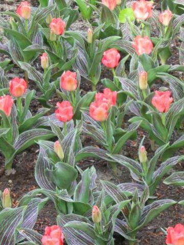 Tulipa  'Oratoria' - Tulp