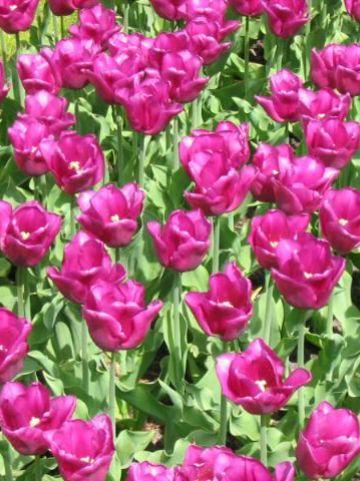 Tulipa  'Passionale' - Tulp