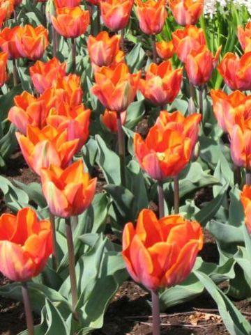Tulipa  'Prinses Irene' - Tulp
