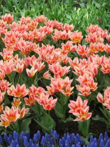 Tulipa  'Quebec' - Tulp