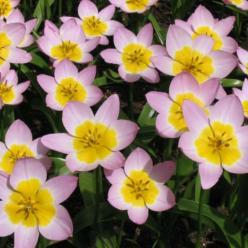 Tulipa bakeri 'Lilac Wonder' - Tulp