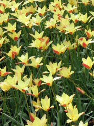 Tulipa  'Tinka' - Tulp
