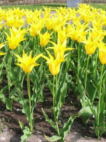 Tulipa  'West Point' - Tulp