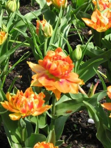 Tulipa  'Willem van Oranje' - Tulp