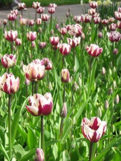 Tulipa  'Zurel' - Tulp