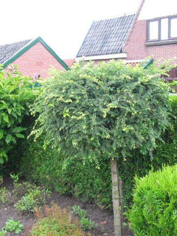 Ulmus parvifolia 'Geisha' - Dwergiep , Dwergiep
