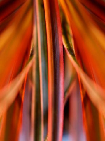 Uncinia rubra 'Everflame' (='Belinda's Find') -