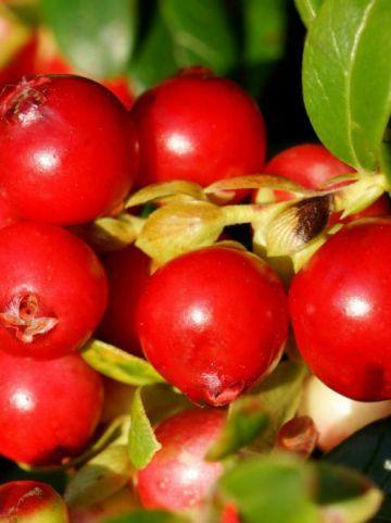 Vaccinium vitis-idaea 'Fireballs' (='Lirome') - Vossebes