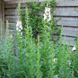 Verbascum blattaria 'Albiflorum' - Wit mottekruid
