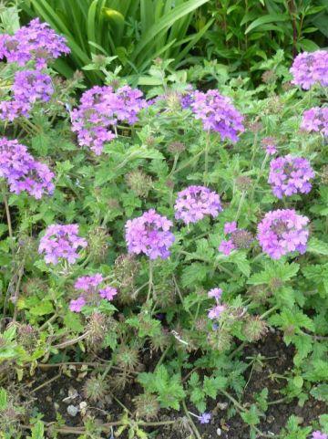 Verbena × hybrida  - IJzerhard