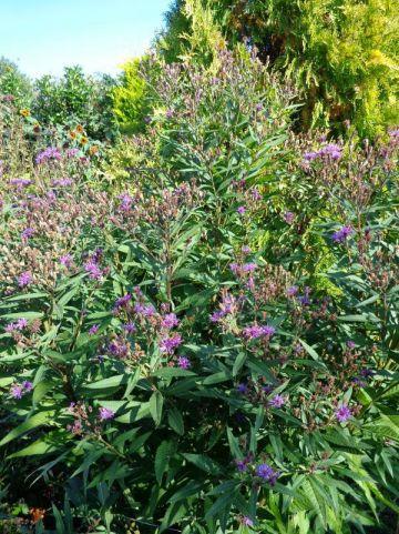 Vernonia crinita 'Mammuth' -