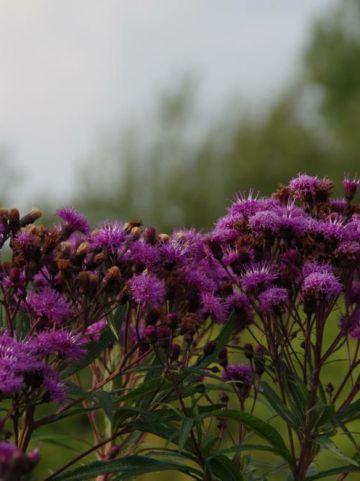 Vernonia noveboracensis  -