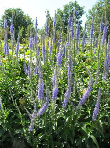 Veronica longifolia  - Ereprijs