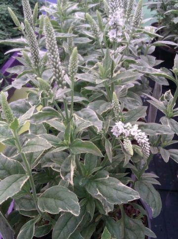 Veronica longifolia 'Charlotte' - Ereprijs