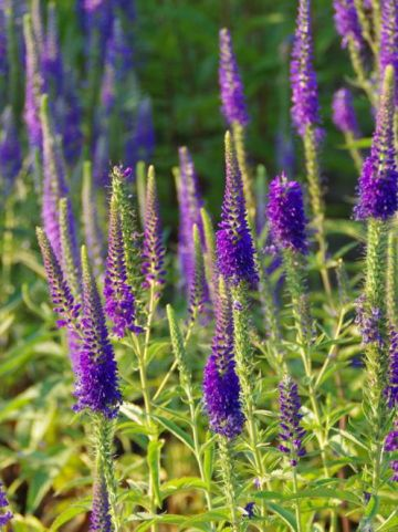Veronica spicata 'Romiley Purple' - Aar-ereprijs