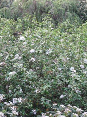 Viburnum × burkwoodii 'Annika' - Sneeuwbal