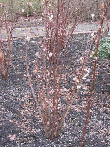 Viburnum bodnantense 'Deben' - Sneeuwbal