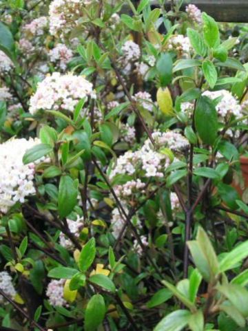 Viburnum  'Conoy' - Sneeuwbal