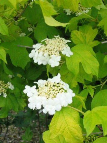 Viburnum opulus 'Aureum' - Gelderse roos