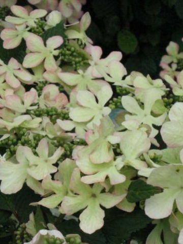 Viburnum plicatum 'Molly Schroeder' - Japanse sneeuwbal