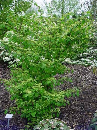 Viburnum plicatum 'Rowallane' - Japanse sneeuwbal , Sneeuwbal