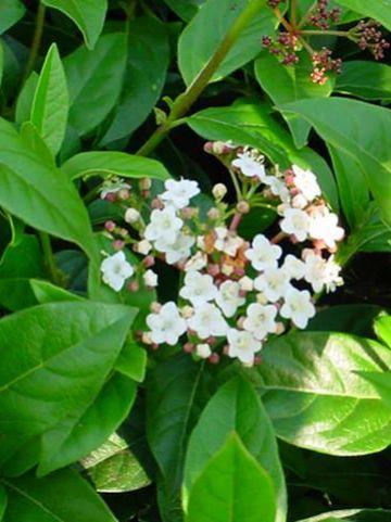Viburnum tinus 'Eve Price' - Lauriersneeuwbal