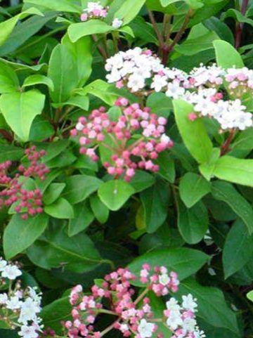 Viburnum tinus 'Gwenllian' - Sneeuwbal