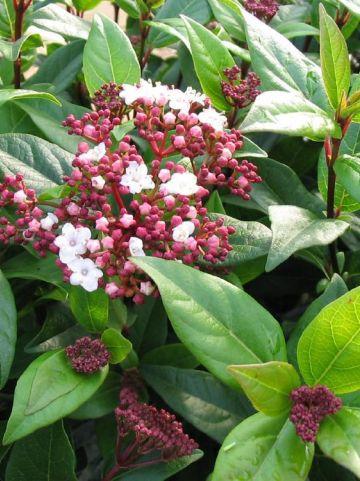 Viburnum tinus 'Ladybird' - Lauriersneeuwbal
