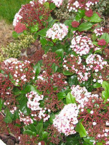 Viburnum tinus 'Lisarose' - Lauriersneeuwbal