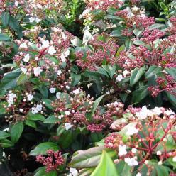 Viburnum tinus 'Lucidum' - Lauriersneeuwbal