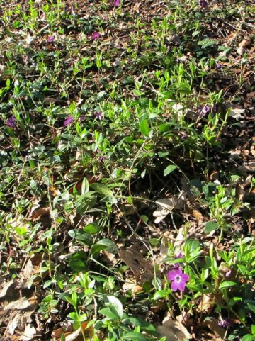 Vinca minor 'Atropurpurea' - Kleine maagdenpalm