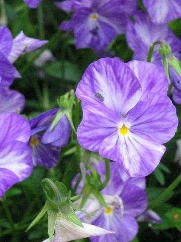 Viola  'Columbine' - Hoornviooltje , Vaste viool