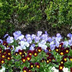 Viola cornuta  - Bosviooltje