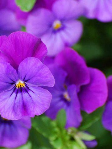 Viola  'Martin' - Hoornviooltje , Vaste viool