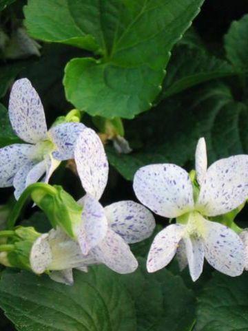 Viola sororia 'Freckles' - Viooltje