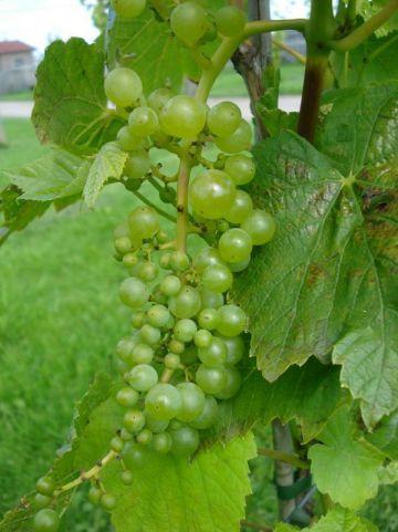 Vitis  'Lakemont' - Wijnstok , Pitloze druif
