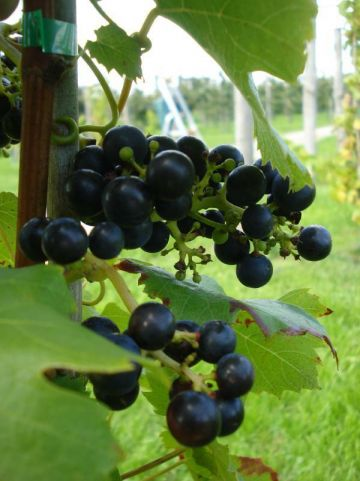 Vitis  'Regent' - Wijnstok , Druif
