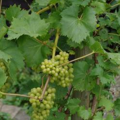 Vitis  'Vroege van der Laan' - Witte druif