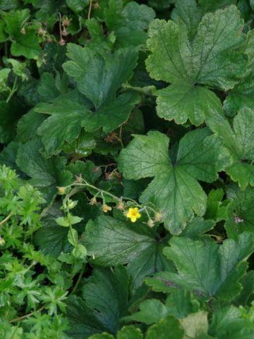 Waldsteinia geoides - /