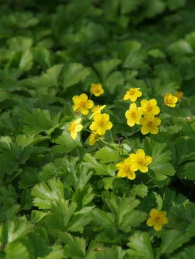 Waldsteinia ternata - Waldsteinia. gele aardbei