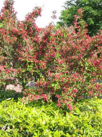 Weigela  'Bristol Ruby' - Weigelia