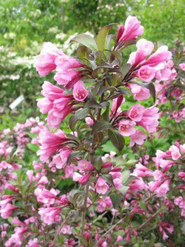 Weigela florida 'Nana Purpurea' - Weigela