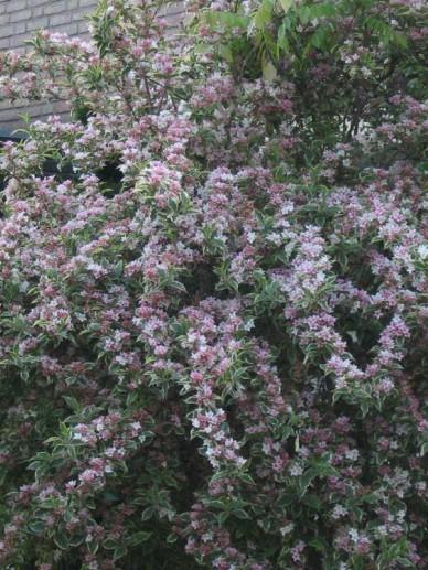 Weigela florida 'Variegata' - Weigelia
