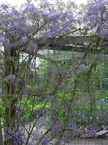 Wisteria floribunda 'Domino'- Blauwe regen